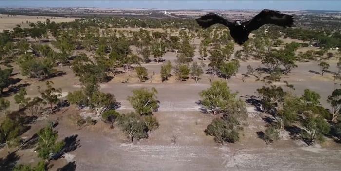 Águila ataca a dron en pleno vuelo