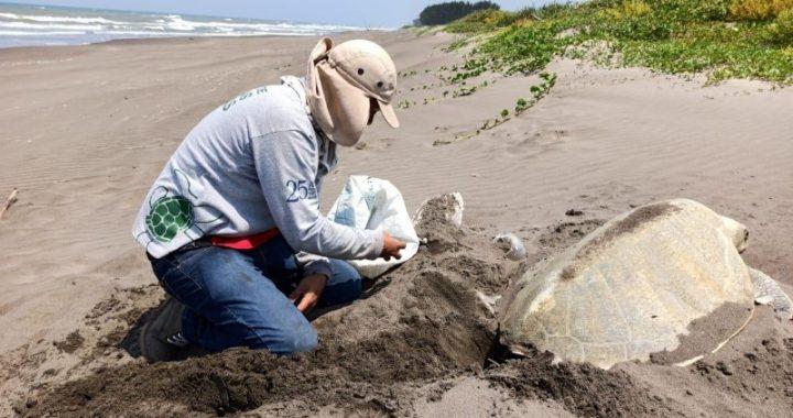 Tortugas anidan en playas del norte de Veracruz