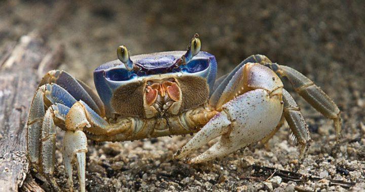 Cangrejo azul, inicia su temporada en Veracruz