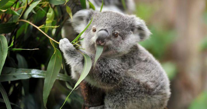 Declaran al Koala como una especie extinta